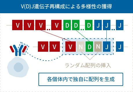 V(D)J遺伝子再構成による多様性の獲得