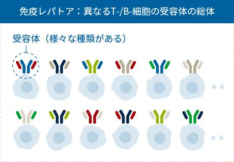 免疫レパトア:異なるT-/B-細胞の受容体の総体