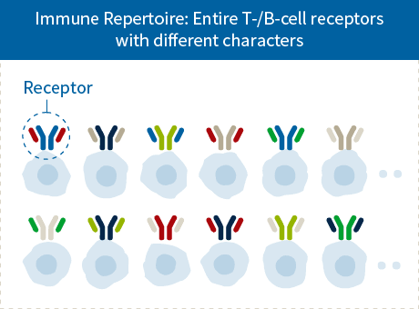 Immune Repertoire: Entire T-/B-cell receptors with different characters